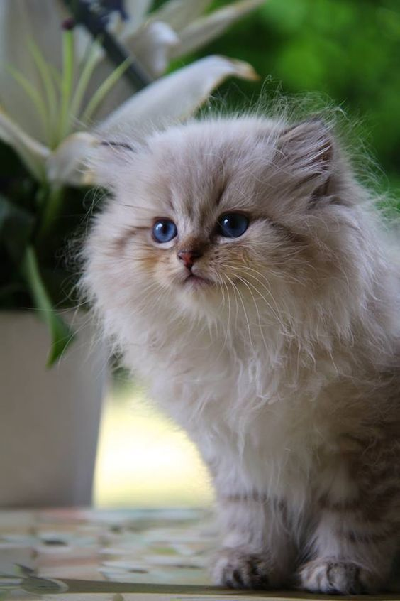 Healthy And Purebred Persian Cats Kittens For Sale In India Get Healthy And Purebred Persian Kittens For Sale Persian Cute Cats Kittens Cutest Pretty Cats