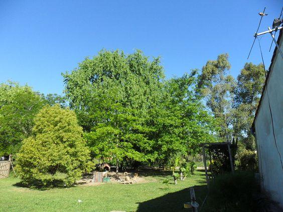 Un fabuloso árbol para jardines grandes