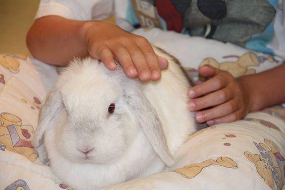 Trompette! Ma lapine bélier! Que je l'aime cette boule de poils! Sa gourmandise fait le bonheur des enfants qui la côtoient! Elle fait la belle pour avec un morceau de kiwi! #rabbit #bunny #zootherapie