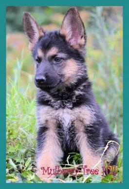 #CuteNCuddly #MansBestFriend #PuppyLove #GermanShepherd #BuckeyePuppies #Loyal www.BuckeyePuppies.com