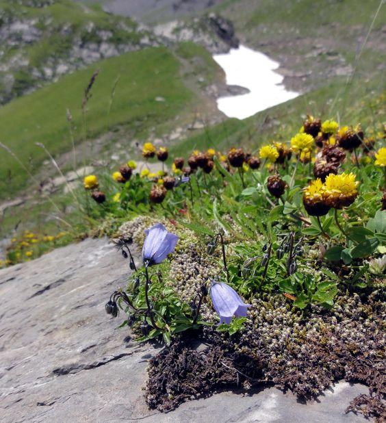 Die Zwergglockenblume (Campanula cochleariifolia) ist eine der alpinen Extremisten, die sich auch im Flachland recht gut kultivieren lassen. Trockenstress mag sie aber gar nicht, auch wenn Wuchsorte auf nacktem Fels etwas Anderes suggerieren.