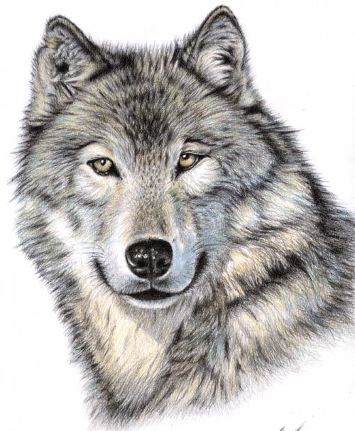 Wolf - drawing coloured pencils
