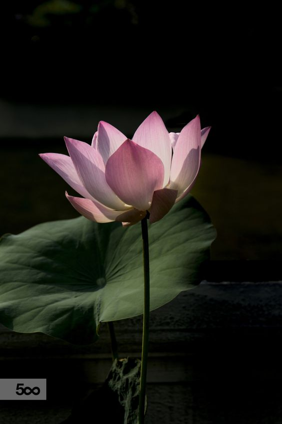 Photograph Home Grown - Lotus Flower. by sk teh on 500px