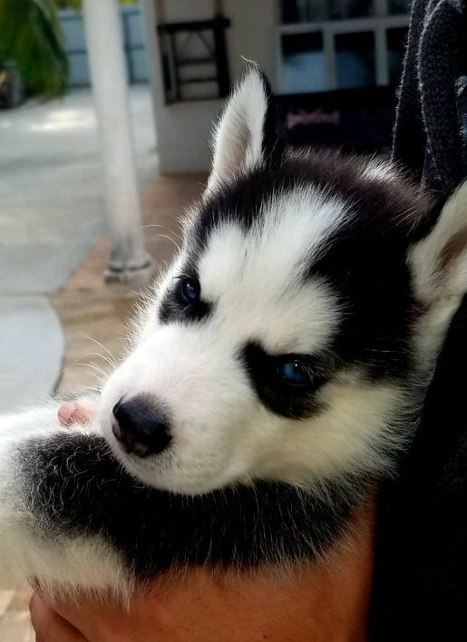 Simba Male Ckc Siberian Husky Puppy From Miami Florida For Sale