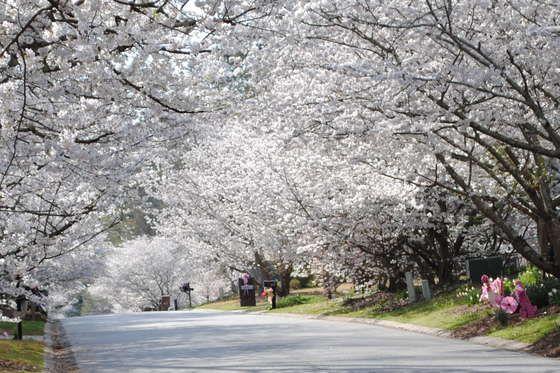 Pin On Macon Cherry Blossom Trip