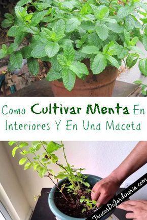 36++ Como cuidar planta menta inspirations