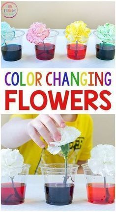 I just love this color changing flowers science experiment! It's a fun spring science activity for kids in preschool and elementary. Free printable recording sheets too! #scienceforkids #scienceexperiments #STEM #preschoolscience Learning Colors for Toddlers | Learning Colors for 2 Year Olds | Learning Colors Worksheets | Learning Colors Activities | Learning Colors Games | Learning Colors Printables | Color Matching | DIY | Color Puzzles | Color Sorting #learningcolors #educational