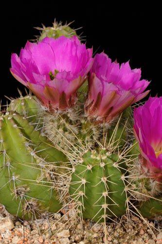 Echinocereus pentalophus ssp. leonensis