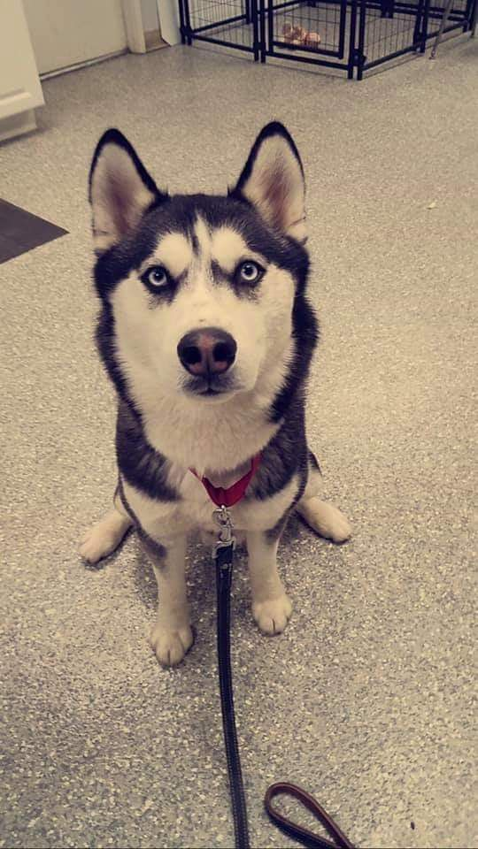 3 10 19 Meeko Is A Full Siberian Husky Surrendered To Us When