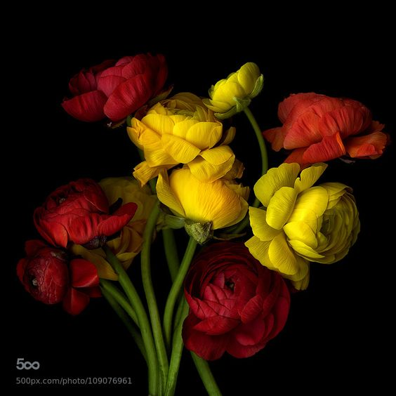 BUSTIN' OUT ALL OVER... RANUNCULUS.: