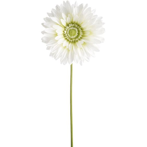 Gerbera Daisy White ❤ liked on Polyvore