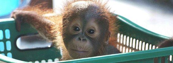 The Great Orang-utan project