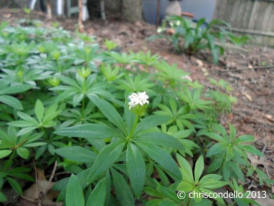 """Sweet Woodruff"" - © chriscondello 2013 - Wilkinsburg, PA - Private Garden - Although plants will grow... Don't expect them to be the most prolific bloomers in your garden..."