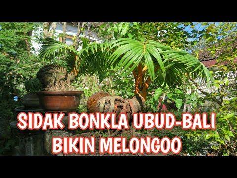 Sidak Bonsai Kelapa Ubud Bali Bikin Melongo Youtube Kelapa