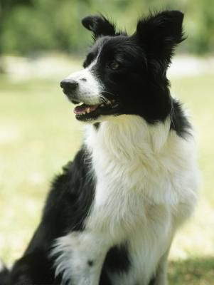 Known as a medium-sized breed, the border collie weighs between 30 and 45 pounds full-grown. As they're born weighing less than a pound, border collies undergo a near-miraculous transformation of height and weight. Growth-rate is dramatic during the newborn and puppyhood stages and plateaus around late adolescence.