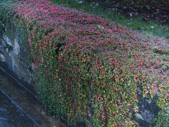 Cotoneaster Dammeri Cotoneaster Bearberry
