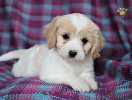 Daisy Cavachon Puppy For Sale In Fresno Oh Lancaster Puppies