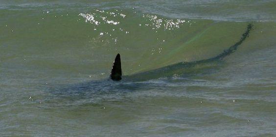 Aude : un requin repéré à Narbonne-plage par des pêcheurs ?