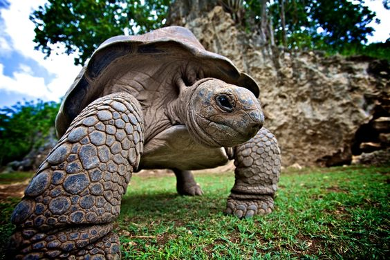 Giant Tortoise | Mauritius: Totally Tortoises, Tortoise Mauritius, Turtles Tortoises, Animals Zoological, Tortoise Turtles, Frogs Turtles, Animals Creatures, Cutycut Animals
