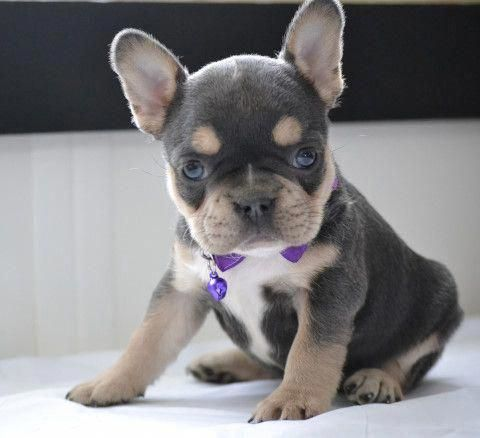Receive Excellent Recommendations On French Bulldogs They Are