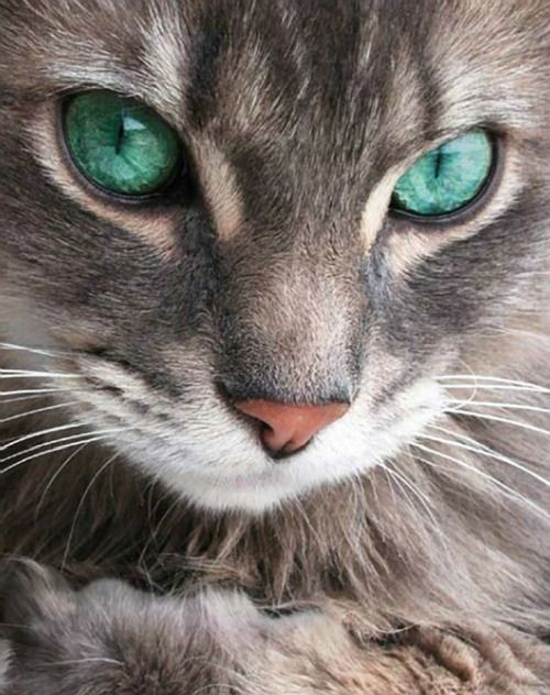 Image result for grey tabby cat with emerald eyes