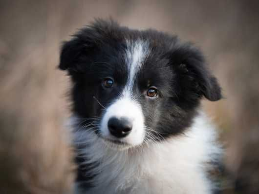 Considerations When Feeding A Dog With Epi Collie Puppies