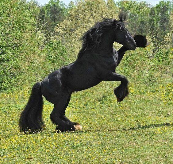 Majestic Black Andalusian~