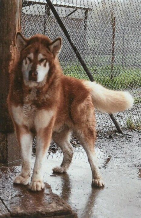 red giant malamute animal love pinterest red giant