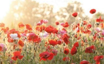 Schone Blumen Mohnblume Bedeutung Feld Mit Blumen Schone Blumen