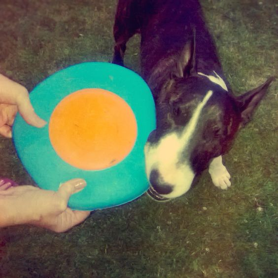 Clive not quite getting the concept of playing frisbee. #houndworthy