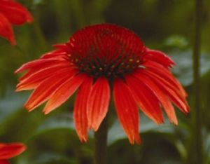 25+ RED RUBY  ECHINACEA / CONE-FLOWER FLOWER SEEDS /LONG LASTING PERENNIAL