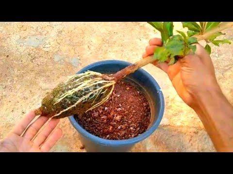 زراعة شجرة رمان كبيرة خلال 30 يوم فقط وبدون ما تدفع ولا قرش Youtube Home Cooking Plants The Originals
