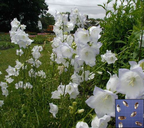 Balloon Flower Bellflower Astra White 125 Seeds Platycodon Grandiflorus 1007 Balloon Flowers Flowers Perennials Indoor Flowering Plants