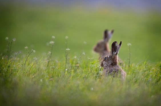 Two hares sitting in the morning sunshine in the Peak District National Park