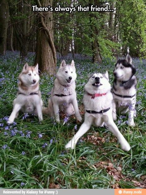 """Lol. There's always """"that"""" friend...  Siberian Husky."""