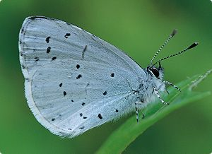 Holly Blue (Celastrina argiolus) ~ A widespread butterfly often found in parks and gardens. Wings are bright blue. Females have black wing edges. Undersides pale blue with small black spots which distinguish them from Common Blue.