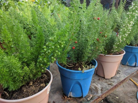 35 House Plants That Are Dangerous For Dogs Thatwowgarden In 2021 Plants Asparagus Fern House Plants