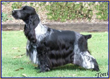 English Cocker Spaniel Grooming | There is nothing more beautiful than a well groomed Cocker spaniel!