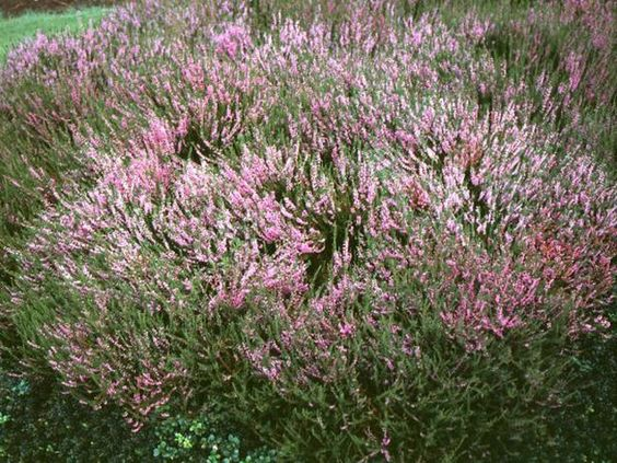 14 easy to grow plants to put in the ground this spring for Low growing flowering shrubs