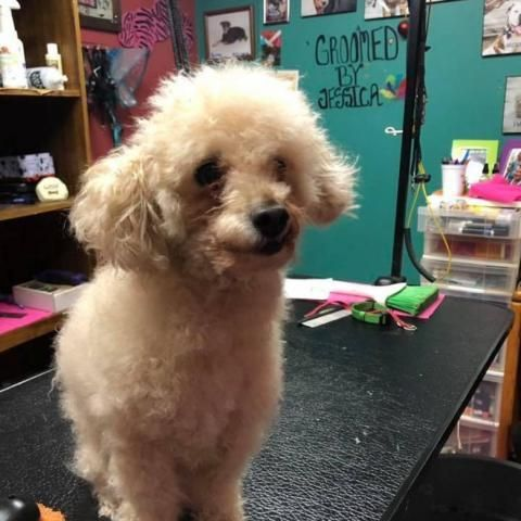 Adopt Emmit On Petfinder In 2020 Rescue Dogs For Adoption Dog Adoption Poodle Rescue