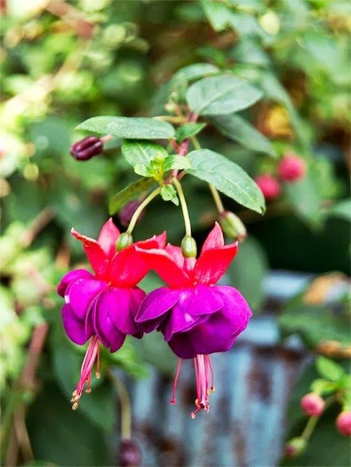 Suzy Grange - Google+ - These gorgeous fuchsias are perfect for hanging baskets!