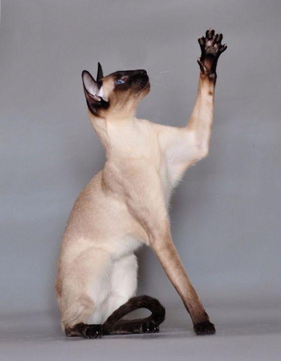 Best Siamese Cat Names Cat Breeds Cat Sitting Beautiful Cats
