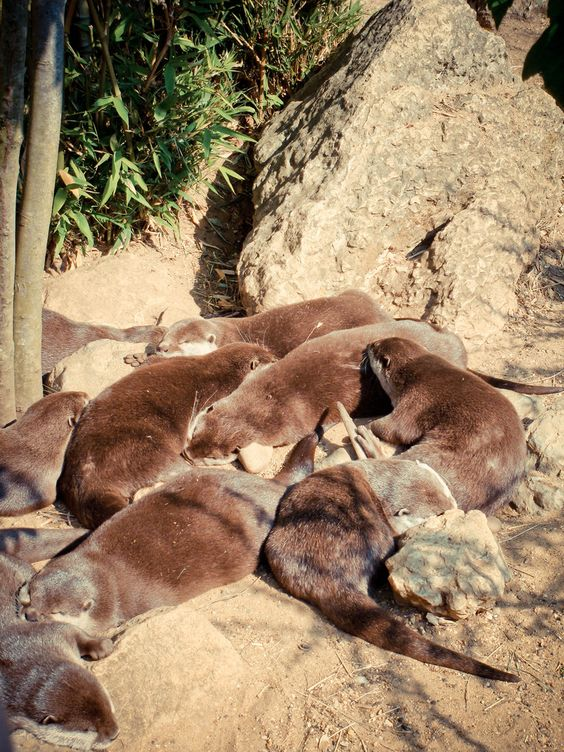 Otters Nap in the Sun - September 28, 2011