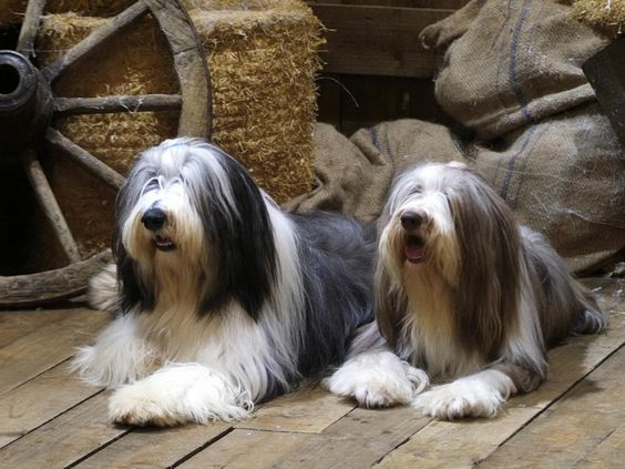 Collies Barbudo