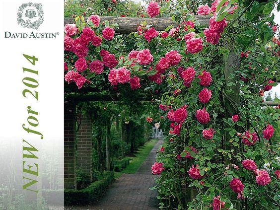 A few New David Austin roses 2014