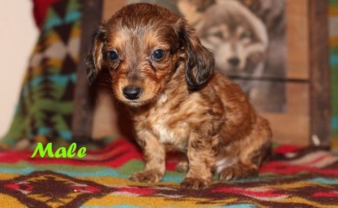 Dachshund Puppies For Sale Jonesboro Ar Dachshund Puppies