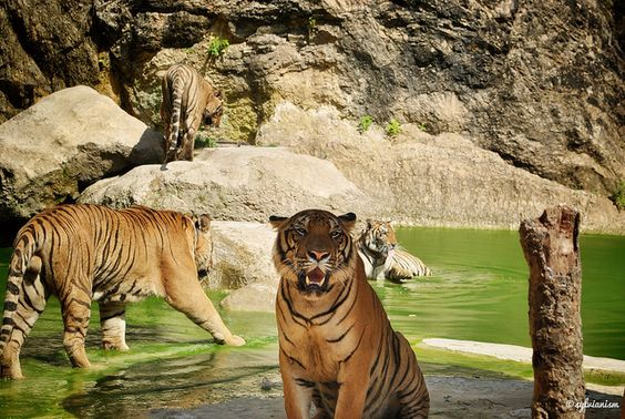 The Tiger Temple, Thailand.... you get to feed the babies!