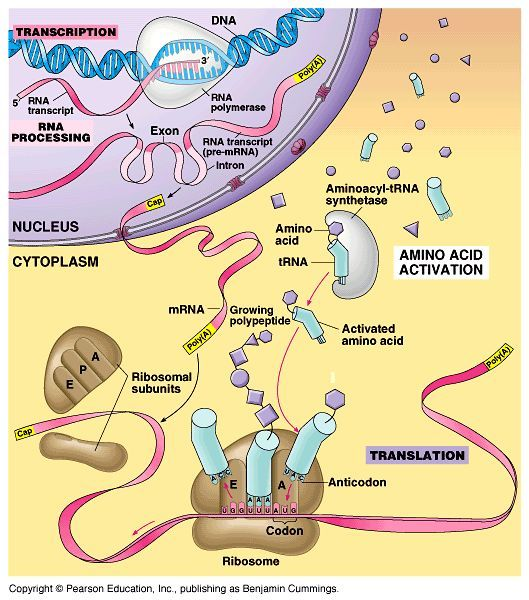 Ap Biology Protein Synthesis Material Science Biology Activity Biology Projects Biology Interactive Notebook