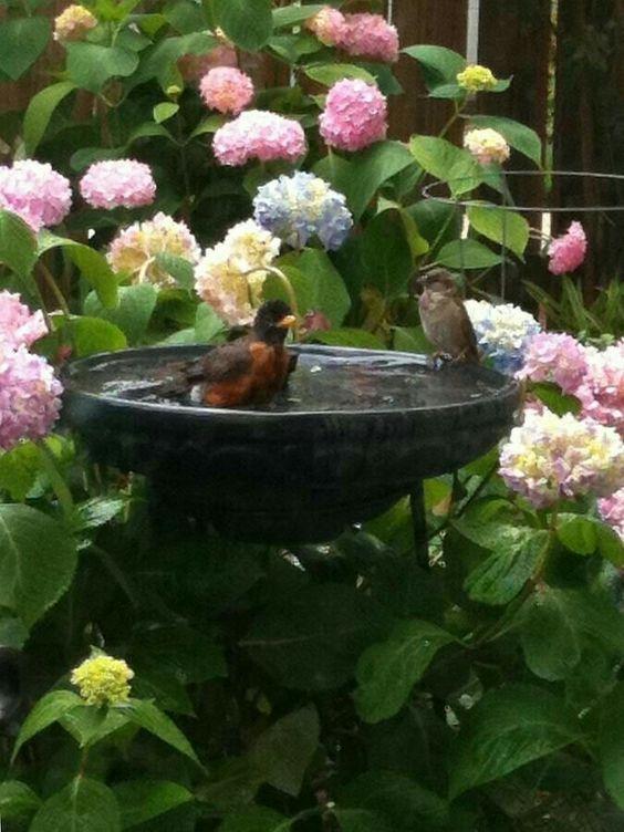 Hydrangea by a birdbath