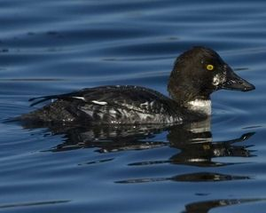 Common Goldeneye Male Non-Breeding © Jukka Jantunen/VIREO